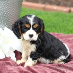 Cavalier King Charles Spaniel Puppy For Sale in GAP, PA