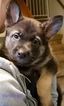 German Shepherd Dog Puppy For Sale in BELDING, MI, USA