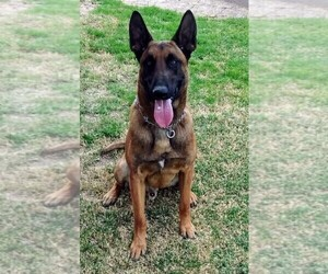 Belgian Malinois Puppy for Sale in EL CENTRO, California USA