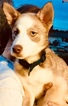 Siberian Husky-Staffordshire Bull Terrier Mix Puppy For Sale in PORTLAND, OR, USA