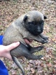 Small #14 Belgian Malinois