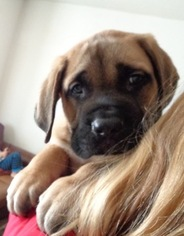 Mastiff Puppy For Sale in LA SALLE, CO