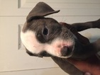 American Pit Bull Terrier Puppy For Sale in SPRINGFIELD GARDENS, NY,