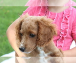 Small #11 Cavapoo