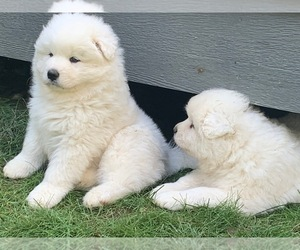 Samoyed Puppy for Sale in WASILLA, Alaska USA