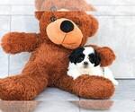 Gabby The Teddy Bear Puppy