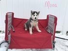 Siberian Husky Puppy For Sale in MILLERSBURG, Indiana,