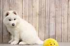 Huskimo Puppy For Sale in PORTSMOUTH, OH, USA