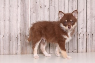 Siberian Husky Puppy For Sale in MOUNT VERNON, OH