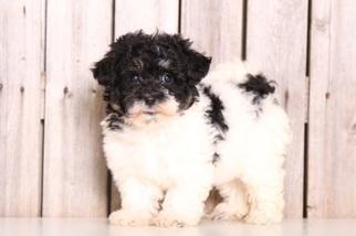 View Ad Havachon Puppy For Sale Near Ohio Mount Vernon Usa Adn 50661
