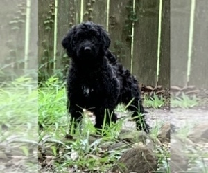 Labradoodle Puppy for Sale in HUMBLE, Texas USA
