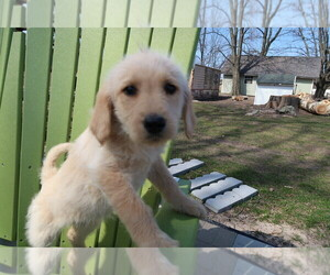 Labradoodle Puppy for sale in SOUTH HAVEN, MI, USA