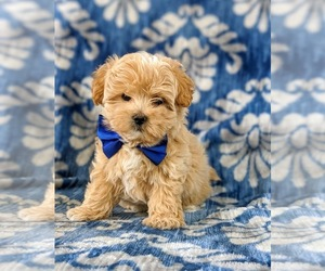 Maltipoo Puppy for sale in PARADISE, PA, USA