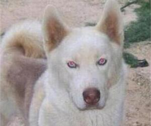Father of the Siberian Husky puppies born on 05/31/2020