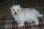 Maltese Puppy For Sale in TUCSON, AZ, USA