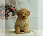 Puppy 4 Poodle (Toy)
