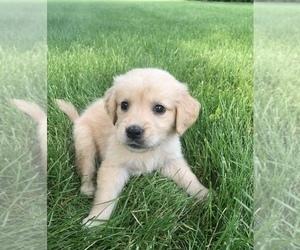 Golden Retriever Puppy for sale in GOSHEN, IN, USA