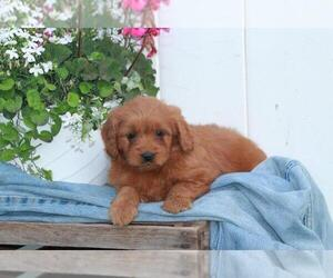 Goldendoodle (Miniature) Puppy for sale in SHILOH, OH, USA