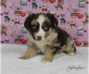 Miniature Australian Shepherd Puppy for sale in FORT JONES, CA, USA