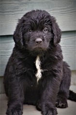Newfoundland Puppy For Sale in LADYS ISLAND, SC, USA