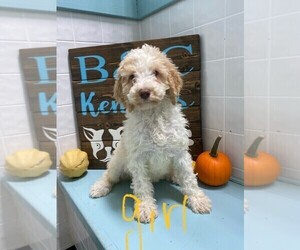Poodle (Standard) Puppy for sale in CLARE, IL, USA