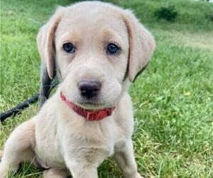 Labrador Retriever Puppy for Sale in GOODING, Idaho USA