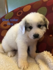 Great Pyrenees Puppy For Sale in WICHITA, KS, USA