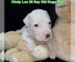 Small Photo #50 Dogo Argentino Puppy For Sale in PINEVILLE, MO, USA