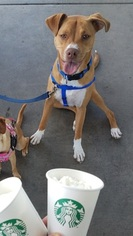 Bullboxer Pit Dog For Adoption in CHANDLER, AZ, USA