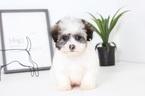 Zuchon Puppy For Sale in NAPLES, FL, USA
