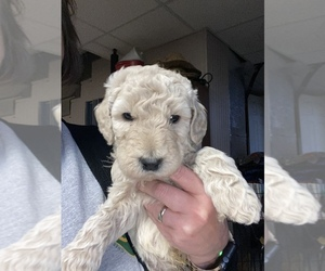 Double Doodle Puppy for sale in GREENSBURG, KY, USA