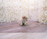 Small #1 Malchi-Poodle (Toy) Mix