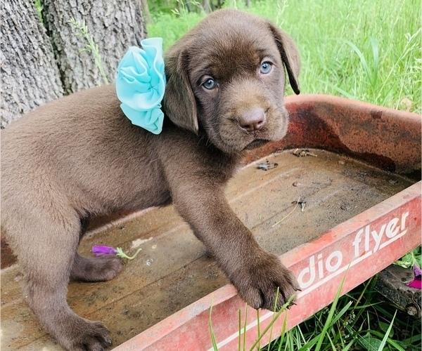 Medium Photo #5 Labrador Retriever Puppy For Sale in AVA, MO, USA