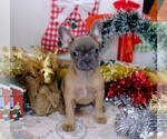 Small Photo #9 French Bulldog Puppy For Sale in BITTER LAKE, WA, USA