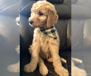Goldendoodle Puppy for sale in MANDAN, ND, USA