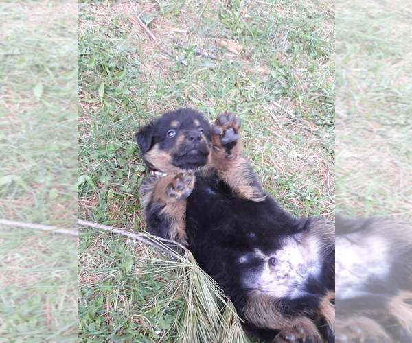 View Ad: Beauceron-German Shepherd Dog Mix Puppy for Sale Price In Finland