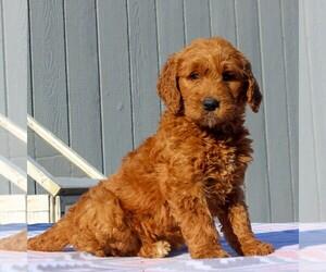 Goldendoodle Dog for Adoption in NARVON, Pennsylvania USA