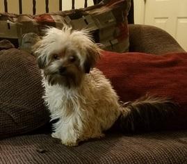 Yorkie-Poo Puppy For Sale in GRETNA, NE