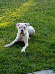 Boxer Puppy For Sale in ORLANDO, FL