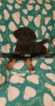 Puppy 2 German Shepherd Dog-Goldendoodle Mix