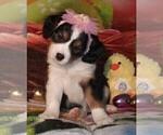 Puppy 5 Australian Shepherd-Cavalier King Charles Spaniel Mix