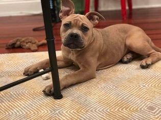 Staffordshire Bull Terrier Puppy For Sale in WASHINGTON, DC