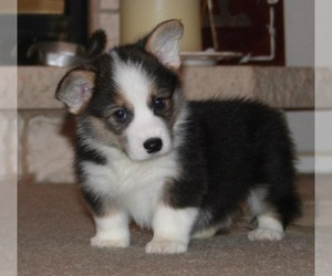 Pembroke Welsh Corgi Puppy for sale in BLAND, MO, USA