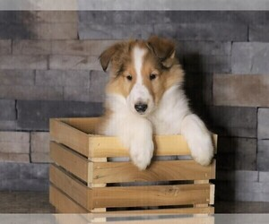 Gollie Puppy for sale in FREDERICKSBG, OH, USA