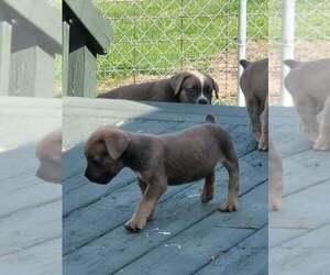 Cane Corso Dog for Adoption in ROCHESTER, Indiana USA