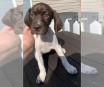 Puppy 2 German Shorthaired Pointer