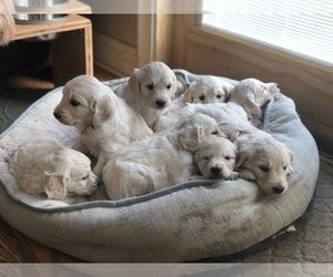 Goldendoodle Puppy for Sale in SOUTHBURY, Connecticut USA