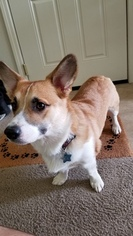 Pembroke Welsh Corgi Puppy For Sale in LOMPOC, CA, USA