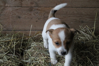Jack Russell Terrier Mix Puppy For Sale in WOODWARD, PA, USA