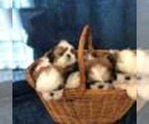 Shih Tzu Puppy for sale in REDINGTN SHOR, FL, USA